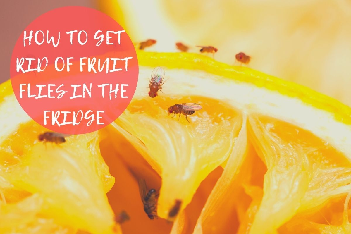 how to get rid of fruit flies in refrigerator